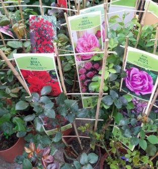 Róża (różne odmiany)