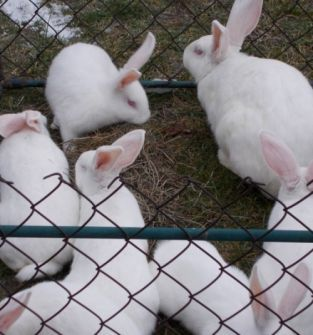 Tuszka królika