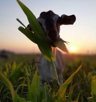 Kózki mleczne 50% Anglonubijskie