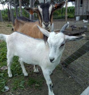 Serwatka z mleka koziego