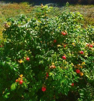 Owoc róży pomarszczonej (Rosa rugosa)