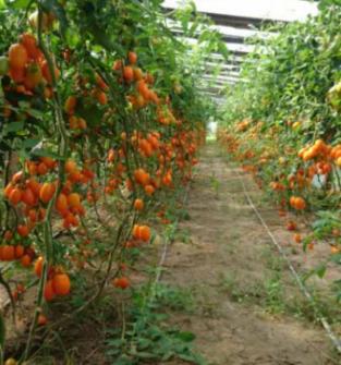 Pomidory, ogórki, papryka, kapusta