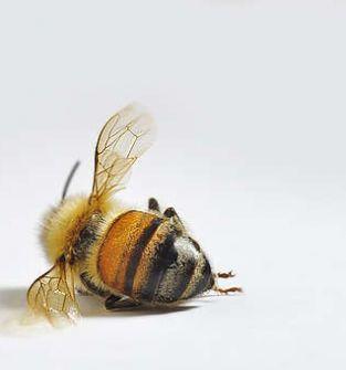 Pszczoły martwe - na nalewkę