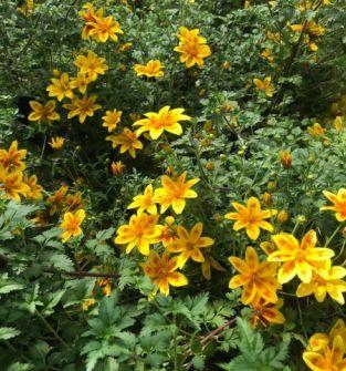 Bidens - Złoty Deszcz