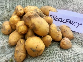 Ziemniaki drobne różny kaliber- odmiana Excellency