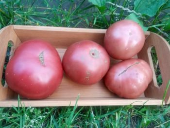 Pomidory czarne