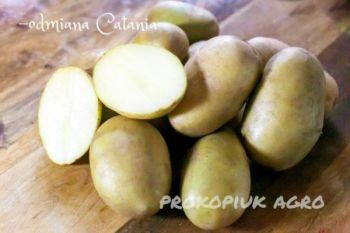 Ziemniaki do sadzenia na wiosnę - odmiana Catania