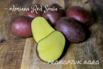 Ziemniaki różny kaliber- odmiana Red Sonia