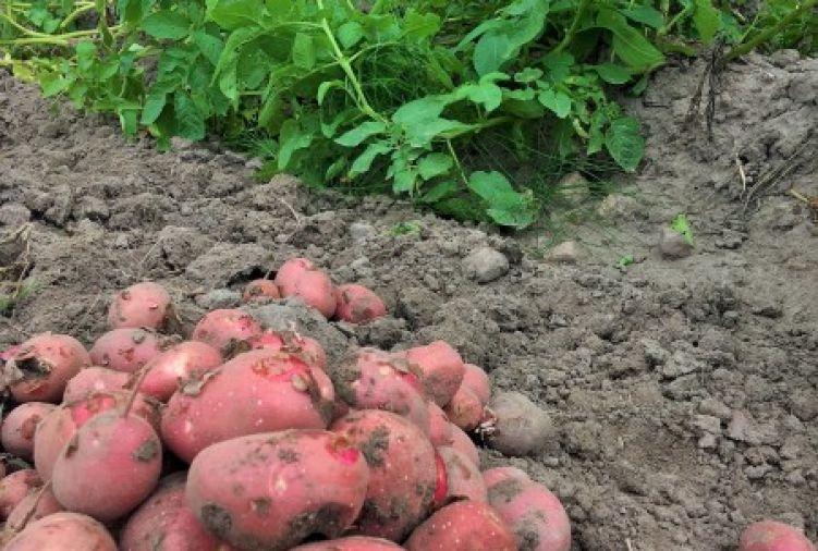 Ziemniaki Red Sonia